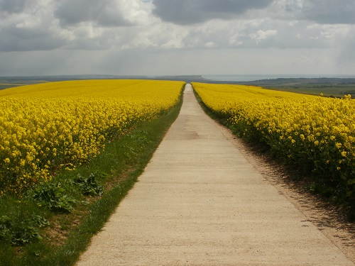 A lovely farm road through Rapeseed on the South Downs Way towards the coast